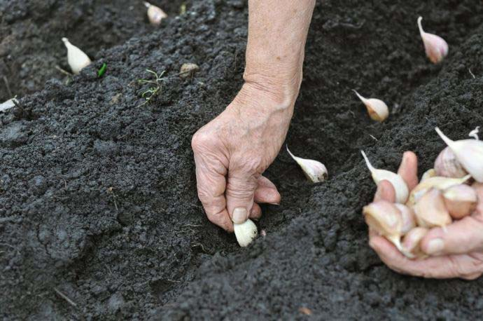 Посадка осенью даёт богатый урожай и обеспечивает возможность его сбора раньше обычного